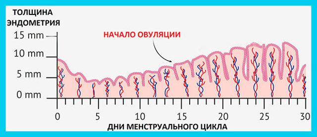 Толщина эндометрия в зависимости от фазы менструального цикла