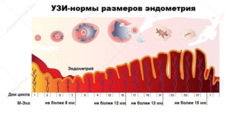 Фазы развития эндотелия
